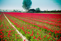 Tulip Field de floraison Images stock