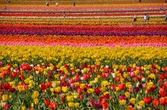 Tulip Field dichtbij Woodburn, Oregon Royalty-vrije Stock Afbeelding