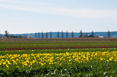 Tulip field with different color tulips Royalty Free Stock Photos