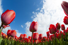 Tulip field with different colors Royalty Free Stock Photo