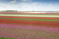 Tulip field with different colors Stock Photo
