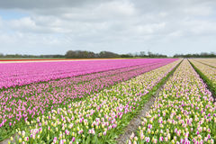 Tulip field with different colors Stock Image