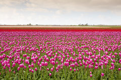 Tulip field with different colors Royalty Free Stock Images