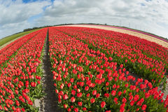 Tulip field with different colors Royalty Free Stock Image
