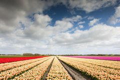 Tulip field with different colors Royalty Free Stock Photography