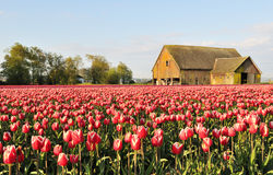 Tulip field with dilapidated old barn Royalty Free Stock Images
