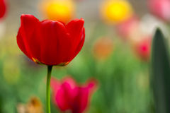 Tulip in the field dof Royalty Free Stock Image