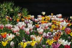 Tulip Field em Riga fotografia de stock