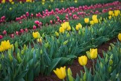 Tulip Field en el parque Fotografía de archivo libre de regalías