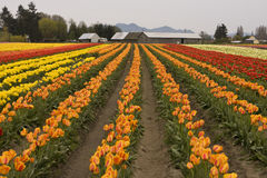 Tulip Field With Farm Royalty Free Stock Photo