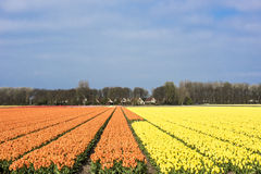 Tulip field, Holland. Flowering tulip field in South Holland Stock Photography