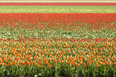 Colorful Tulip field royalty free stock photo