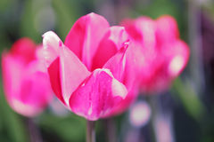 Tulip field, flowers. Tulip field, colorful tulips in spring, Macro Stock Photo