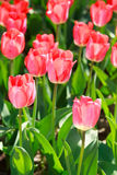 Tulip field, flowers. Tulip field, colorful tulips in spring, Macro Stock Photos