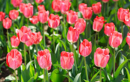 Tulip field, flowers. Tulip field, colorful tulips in spring, Macro Stock Images