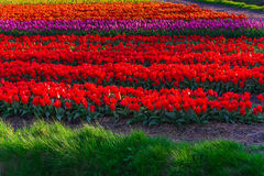 Tulip field adnd old mills in netherland Stock Images