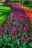 Tulip field adnd old mills in netherland Royalty Free Stock Photo