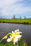Tulip field adnd old mills in netherland Stock Photography