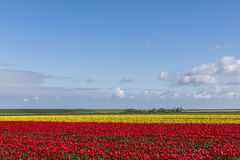 Tulip Field in Friesland Lizenzfreies Stockfoto