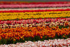 Tulip field in full blossom Royalty Free Stock Image