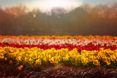 Tulip field in full blossom at sunrise Royalty Free Stock Photo