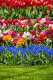 Tulip Field Garden Imagenes de archivo