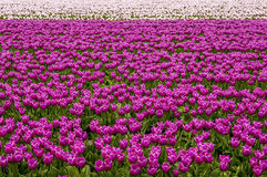 Tulip Field. A field of growing tulips in the netherlands Royalty Free Stock Image