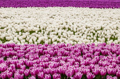 Tulip Field. A field of growing tulips in the netherlands, 3 different colors Stock Photo