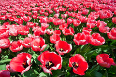 Tulip field - Holland Stock Images
