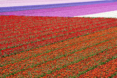 Tulip field in Holland Royalty Free Stock Photography