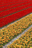 Tulip field in Holland Stock Photo