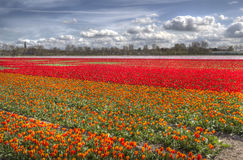Tulip field in Holland Royalty Free Stock Image