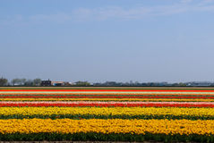 Tulip Field in Holland. Tulips in full bloom in a field in South Holland Royalty Free Stock Photography