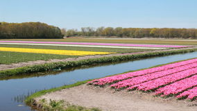 Tulip field in Holland. Flower fields with pink and yellow tulips near Hillegom, Holland stock video footage