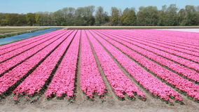 Tulip field in Holland. Flower field with pink tulips near Hillegom, Holland stock video