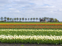 Tulip Field Holland Stock Photography