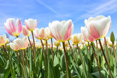 Tulip field Holland Royalty Free Stock Images