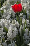 Tulip in a field of Hyacinths. A lonely red tulip in a field of white hyacinths. Individual and unique Stock Image