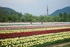 Free Tulip Field In Kashmir, India Royalty Free Stock Photography - 41400327