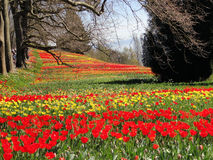 Tulip Field on the Island of Mainau in Konstanz, Germany Royalty Free Stock Images
