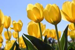 Tulip Field jaune photo stock