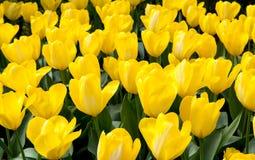 Tulip Field jaune Image stock