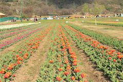 Tulip Field in Kashmir. Royalty Free Stock Images