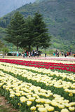 Tulip field in kashmir, india Stock Image