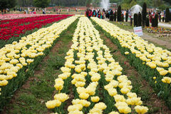 Tulip field in kashmir, india Royalty Free Stock Photography