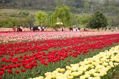 Tulip field in kashmir, india Stock Images