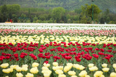 Tulip field in kashmir, india Royalty Free Stock Images