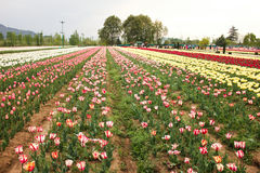 Tulip field in kashmir, india Royalty Free Stock Image