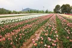 Tulip field in kashmir, india Royalty Free Stock Photos