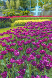 Tulip field in Keukenhof Gardens, Lisse, Netherlands. The tulip field in Keukenhof flower garden, Lisse, Netherlands, Holland royalty free stock photos